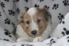 Sheltie Puppies For Sale, Corgi, Animals, Corgis, Animales, Animaux, Animal, Animais