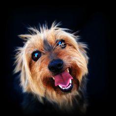 ✮ Little Australian Terrier