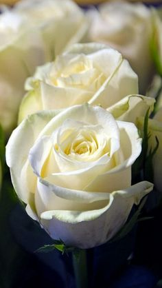 rose_white_flower_bud_close-up_62228_640x1136 | Flickr - Photo Sharing!                    rose
