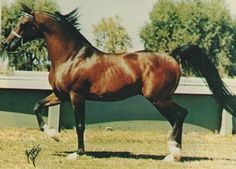 *Bask. The Arabian breed turned a corner and went in a new direction under the huge influence of this stallion.