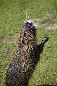 #nutria #beaverrate #bisamratte #mammal #animal #BabettsBildergalerie Buy Photos, Mammals, Animal, Otters, Wild Animals, Fur, Pictures, Animals, Animales