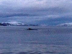 Humpback whale in Kårvikhamn, Troms, Norway. December 2013.