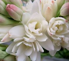 Robertas 6-pc. Snow White Tuberose Collection with Fertilizer - my Tahitian get-away in the backyard.