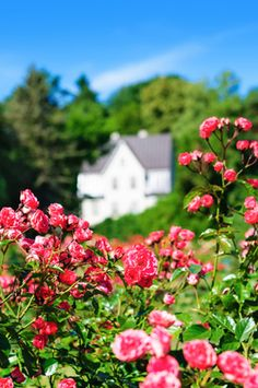 What to do in the fall to guarantee your roses will look great next spring!