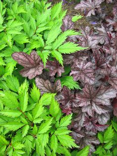 Astilbe chinensis 'Pumila' & Heuchera 'Blackberry Jam'
