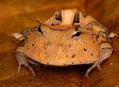 The Suriname horned frog (a type of Pac-Man frog) is one of the recently discovered species found in Surinam. All pac-man frogs are chubby silly creatures that open their mouths at nearly a 45 degree angle, looking very silly as they eat