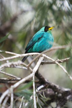 ©Alfredo SolanoCome, check out my blog!  Turquoise tanager