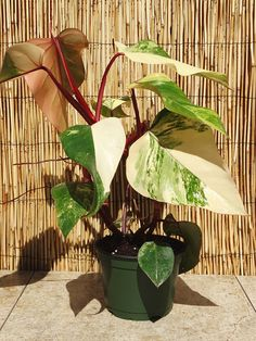 Houseplants for Better Sleep Philodendron Erubescens Red Emerald Marbled Plant On Totem