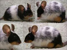 Tetracolor (four colors) Fancy Show Mouse