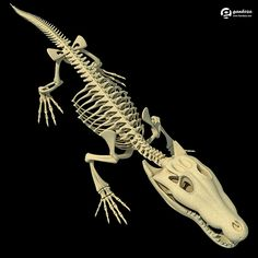 Crocodile Skeleton - Animals Skeletons