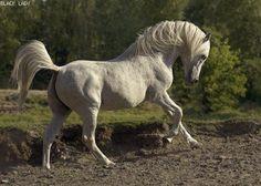 Black Lady - konie arabskie z charakterem