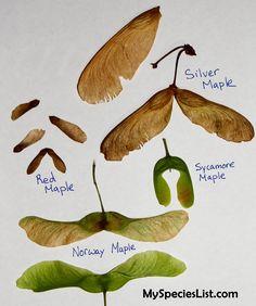 maple seed - Поиск в Google