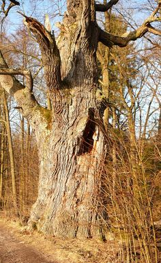 památný strom Southern, Trees, Plants, Beauty, Bohemia, Tree Structure, Planters, Wood, Beauty Illustration