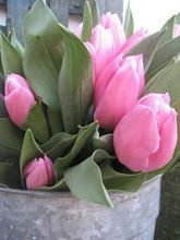 galvanized bucket of pink tulips, perfect pink and grey