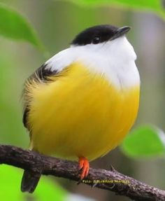 White- collared manakin