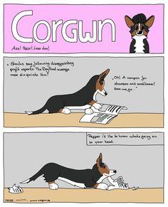Pepper is scanning the daily newspaper to find the best story. #corgicomic #corgicomics #corgi #newspaper #pembroke 