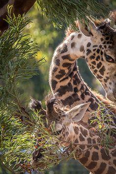 Peek-A-Boo, Giraffe Style | Flickr - Photo Sharing!