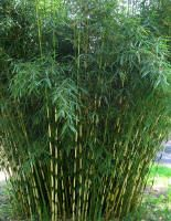 "Bamboo: clumping, cold hardy variety,(Fargesia robusta ""Campbell"") at Bamboo Garden in North Plains, Oregon Outdoor Plants, Outdoor Gardens, Fargesia Robusta, Landscape Design, Garden Design, Clumping Bamboo, Ornamental Grasses, Plantation, Garden Art"