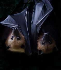 These two baby flying fox bat pups are just too cute.  Fabulous photo.