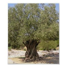 Olive Plant, Climbing Technique, Tree Wall Murals, Tree Felling, Fast Growing Trees, Tree Images, Fig Tree, Olive Tree, Flower Wallpaper