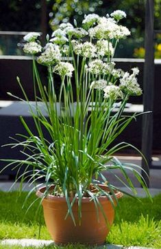 Garlic Chives Seeds - Organic (Allium tuberosum) Edible Flower,Fragrance Herb,Repel Pests,Great cut-flowers for fresh or dried Seeds Chives Plant, Garlic Chives, Parsley, Organic Garlic, Organic Herbs, Edible Flowers, Cut Flowers, Stir Fry Herbs, Gardening