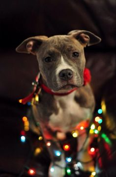Happy Holidays. Season American Pit Bull Terrier Merry Happy Christmas Day Card Puppy Holiday Dogs Santa Claus Dog Puppies Xmas #MerryChristmas Pitbull