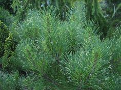 Pinus thun Oculus Draconis 400