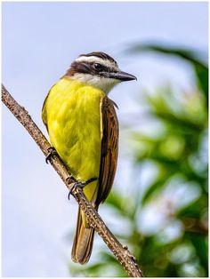 "/ Photo ""Yellow-breasted Kiskadee"" by Giancarlo Bisone Birds In The Sky, All Birds, Love Birds, Pretty Birds, Beautiful Birds, Cardinal Birds, Colorful Birds, Bird Species, Nature Animals"