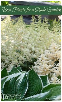 Best Plants for a Shade Garden - astilbe