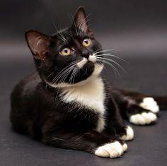 Tuxedo Cat  ♥♥♥