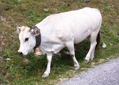 Miniature cow.  Google Image Result for http://upload.wikimedia.org/wikipedia/commons/thumb/9/94/Race_piemontaise.JPG/800px-Race_piemontaise.JPG