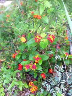 My red and gold cluster Lantana