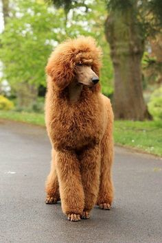 I really like the apricot/gingery brown poodles. Our friends have a black standard poodle and she is so smart, sweet, and obedient. #Poodle #catgroomingstyles