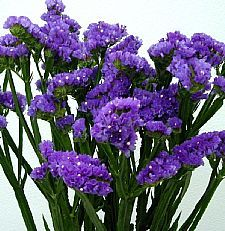 Statis - you can let this dry and it will keep its' vivid purple color for ages if kept out of the direct sunlight.
