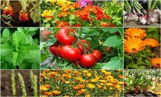 10 növény, amelyet érdemes a paradicsom mellé ültetni, hogy az idei termés tökéletes legyen!