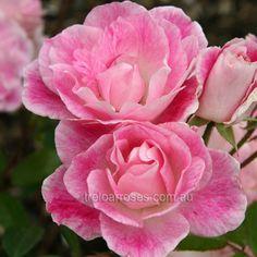 Blushing Pink Iceberg ~ Shrub / Climbing Rose
