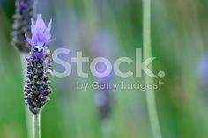 Lavender Flower royalty-free stock photo