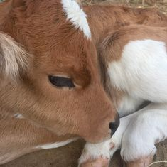 Find images and videos about baby, rp and roleplay on We Heart It - the app to get lost in what you love. Cute Creatures, Beautiful Creatures, Animals Beautiful, Cute Baby Animals, Farm Animals, Animals And Pets, Cute Funny Animals, Baby Cows, Doja Cat