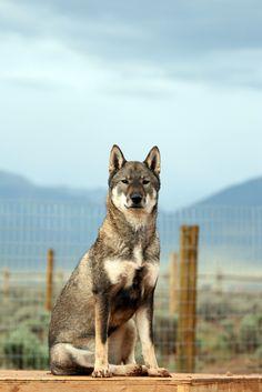 Shikoku Ken (Shikoku Dog) / Japanese Dog. Highly ...