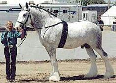 Crystal Clear Illusion of Ox kill - shire stallion