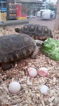 Schildpadden Ribbel en Rabbel met 4 eieren.