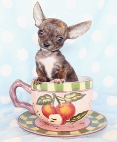 chihuahua in a tea cup