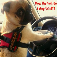 Me and car driving! ;-)  www.pugworldtrip.com www.thepugfather.com