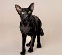 A beautiful cat Oriental.  Especially black is my favorite. I love the color.  The Incensewoman