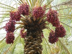 A date palm laden with ripening fruit is an attractive and colourful sight. Fruit can vary from bright yellow, orange or even red. One cannot help but be impressed by the massive bunches of fruit hanging - with sometimes as much as 200kg being produced by a single tree. . Dave's Nuffield
