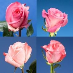 GlobalRose Pink Roses- Express Delivery by Monday May 100 Wholesale Flowers All Flowers, Fresh Flowers, Mothers Day Roses, Buy Roses Online, Winter Greenhouse, Best Honey, Different Shades Of Pink, Deep Winter