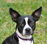 ANDREW is an adoptable Boston Terrier Dog in Alexandria, VA. Andrew is our 'tripod' dog. He was found in a shelter with a broken leg. It was so bad, the right front leg had to be amputated. He does a ...