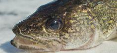how to catch whitefish ice fishing sylvan lake ab