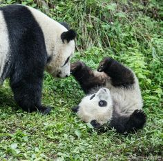 147 Best Everyone Loves A Panda Images Panda