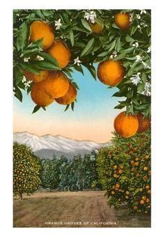 Vintage orange grove postcard